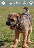 Border Terrier-Happy Birthday (No Theme)